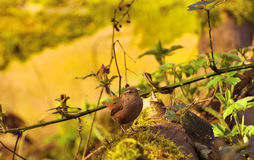 Wren. Dumpy-breasted wren perched on mossy-covered log in woodland glade Royalty Free Stock Photo