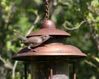 Wren en un alimentador del pájaro Foto de archivo libre de regalías