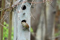 House Wren sits at entrance to nestbox stock image