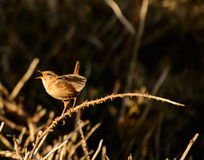 Wren royalty free stock images