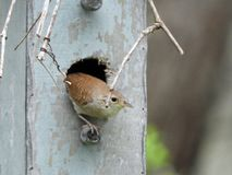House Wren exiting nestbox after bringing in twigs stock photo