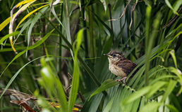 Wren Fledgeling Royalty Free Stock Photos