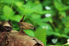 Wren with food Royalty Free Stock Photos