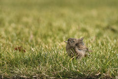 Wren having caught an insect Royalty Free Stock Images