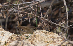 Wren Hiding Behind The Rockpile Royalty Free Stock Photos