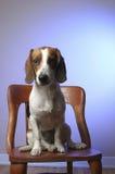 Wren il cane da lepre eccellente Immagine Stock Libera da Diritti