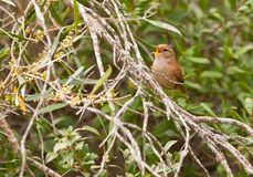 Wren, the little King Stock Photography
