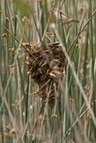 Wren Nest e scricciolo palustre Fotografia Stock Libera da Diritti