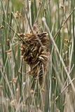 Wren Nest en moeraswinterkoninkje Stock Foto's