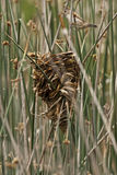 Wren Nest and marsh wren Royalty Free Stock Photography