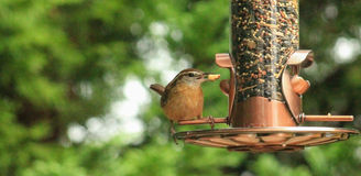 Wren with a nut Stock Photo