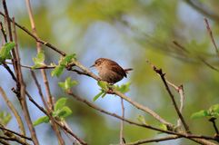 Wren perched on a branch. Stock Photography