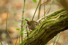 Wren. Playing in the bushes royalty free stock images