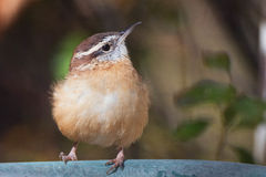Wren Puffed Royalty Free Stock Photos