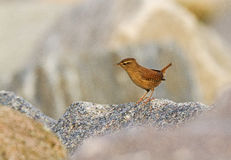 Wren on a rocks Stock Images