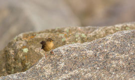 Wren on the rocks Stock Photography