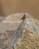 Wren on the rocks Stock Image