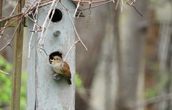 House Wren singing loudly at nestbox in springtime stock image
