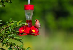 A wren sits on a hummingbird feeder royalty free stock image