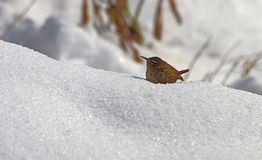 Wren in the snow royalty free stock photos