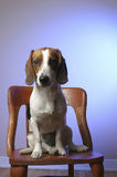 Wren the super beagle. The adorable,mischievous Wren royalty free stock image
