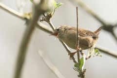 A pretty Wren, Troglodytes troglodytes, perched on a branch in a tree singing. A Wren, Troglodytes troglodytes, perched on a branch in a tree singing stock photography