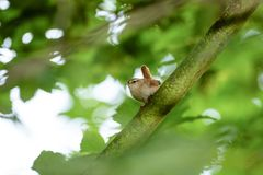 Wren Troglodytes troglodytes. In the shade of the woods of a West London park, England royalty free stock images