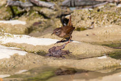 Wren (Troglodytes-troglodytes). Look for insects along the stream Royalty Free Stock Images