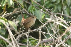 A Wren Troglodytes troglodytes singing perched on a thorny bramble stem. A cute Wren Troglodytes troglodytes singing perched on a thorny bramble stem royalty free stock photo