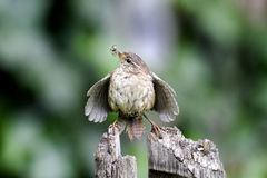 Wren, Troglodytes troglodytes. Single bird on branch displaying at magpie by nest stock photos