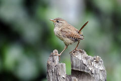 Wren, Troglodytes troglodytes. Single bird on post stock photography
