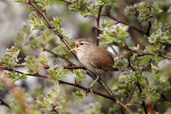 Wren, Troglodytes troglodytes. Single bird singing on branch stock images
