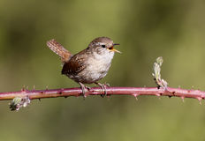 Wren, Troglodytes troglodytes. Single bird singing on branch, Warwickshire, May 2013 royalty free stock image