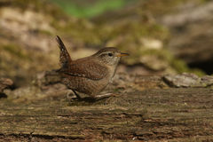 A Wren, Troglodytes troglodytes, taking a rest after searching around for food in a pile of logs. Royalty Free Stock Photos