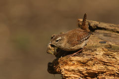 A Wren, Troglodytes troglodytes, taking a rest after searching around for food in a pile of logs. Royalty Free Stock Photo