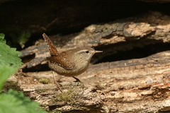 A Wren, Troglodytes troglodytes, taking a rest after searching around for food in a pile of logs. Stock Photography
