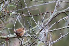 Wren Troglodytes troglodytes. At Weir Wood Reservoir royalty free stock photography