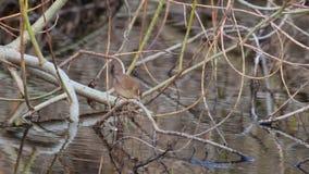 Wren, Troglodytidae, walking along river side branch looking for food on river, elgin, moray, scotland, on a sunny march af. Wren, Troglodytidae, walking along stock video
