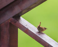 Wren on vernada Royalty Free Stock Images