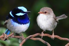 Wrens de hadas azules magníficos Fotografía de archivo