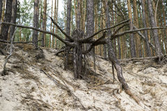 Wrested roots of large tree in the sand Royalty Free Stock Images