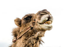 Wrestler camel. Closeup shot of camel's head Royalty Free Stock Images