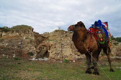 Wrestler camel waiting his turn in tied to a building at Selcuk, Izmir / Turkey stock photography