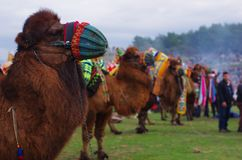 Wrestler camels waiting their turn at camel wrestling carnaval, Selcuk, Izmir / Turkey royalty free stock photography