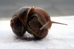 Wrestling. Snails Stock Photos