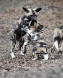 Wrestling African wild dog pups Royalty Free Stock Photos