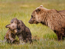 Wrestling bear cubs Royalty Free Stock Photo