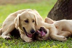 Wrestling dogs stock photo
