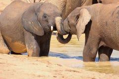 Wrestling elephants royalty free stock image