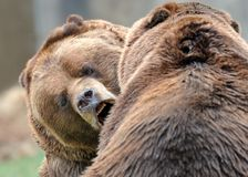 Wrestling grizzly bears. Alaskan brown bears (grizzly) wrestling with each other Royalty Free Stock Image